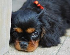 Cavalier King Charles Spaniel. a sweet-faced example of the tenderly-tempered black and tan cav.....how this reminds me of our Coconino (Coco)......sigh.....