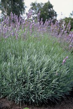 Jak pielęgnować lawendę, by kwitła obficie? Flowers, Plants, Gardening, Shade Perennials, Lawn And Garden, Plant, Royal Icing Flowers, Flower, Florals