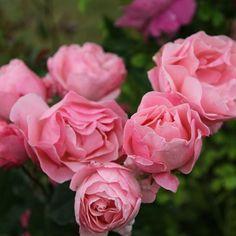 Buy rose The Queen Elizabeth (floribunda) Rosa The Queen Elizabeth - Described by David Austin as 'indestructible': 4 litre pot: Delivery by Crocus Queen Elizabeth Rose, Rose Queen, Queen Queen, Buy Roses, Garden Care, Amazing Flowers, Beautiful Roses, Garden Inspiration, Garden Plants