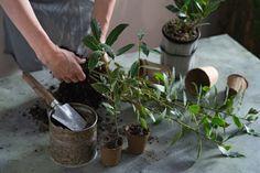 Vavrín pravý – pestovanie, kedy ho strihať. Čerstvý a drvený bobkový list pod vankúš a proti hmyzu | TopByvanie.sk Plants, Gardening, Lawn And Garden, Plant, Planets, Horticulture