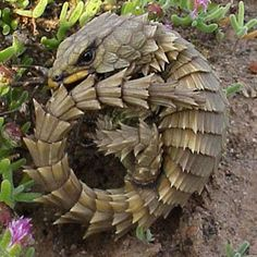 The Armadillo Lizard is a lizard endemic to desert areas of southern Africa. The natural habitat of this lizard is scrub and rocky outcrops. It is diurnal. It hides in rock cracks and crevices. It lives in social groups of up to 30.    The Armadillo Lizard possesses an uncommon antipredator adaptation, in which it takes its tail in its mouth and rolls into a ball when frightened.