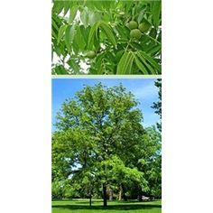 $6.95 - Black Walnut Tree - 2 Pack Juglans nigra Height: 50-75' Width: 60' Zones: 4 to 9 Sun Exposure: full sun