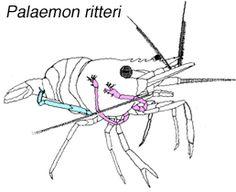 drawing of shrimp Palaemon ritteri