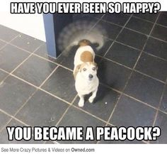 No, no I have not. I'm not a dog- or a peacock..