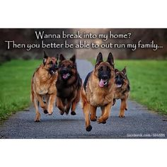 German Shepherds Family