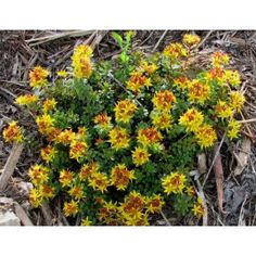 "Sedum floriferum ""Weihenstephaner Gold"""