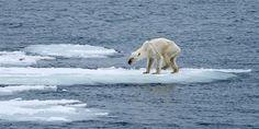 DEn Eisbären geht es nicht gut, wer kann mag z.B. beim WWF spenden // Eisbaer (c) Kerstin Langenberger