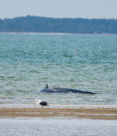 Great Black-backed Gull (with beached Humpback Whale): 24 March 2017, New Point Comfort NAP, Bavon, VA (Mathews County),  12:45 p.m., 60 degrees, mostly sunny, breezy