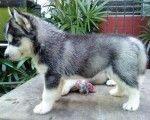miniature siberian huskies dogs
