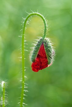 Poppy in a field of wheat by Andrej Kunka on Large Flowers, Wild Flowers, Page Borders Design, Blue Poppy, Red Poppies, Flower Tattoos, Beautiful Roses, Nature Photos, Botany