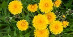 Blíží se čas pampelišek! Víte, jak nejlépe celou rostlinku zužitkovat?