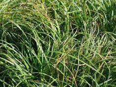 Polsterartige Segge 'The Beatles' - Carex caryophyllea 'The Beatles'