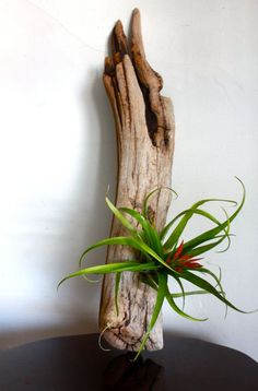New obsession: Air Plants // I had the same idea, but I would place the drift wood inside the large lantern that I have in order to create a humid environment.