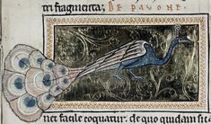 Bodleian Library, MS. Ashmole 1511, Folio 72r  Since the peacock's tail is its primary feature, the artist has chosen to emphasize it