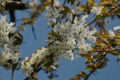 ....die Kirschen blühen... von Horst Heesmann