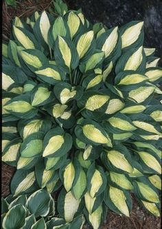 Hosta Gypsy Rose (J. Anderson NR) : The amazing Hosta 'Gypsy Rose' was discovered as a mutation of the famed Hosta 'Striptease'. From our observations, Hosta 'Gypsy Rose' stays slight...