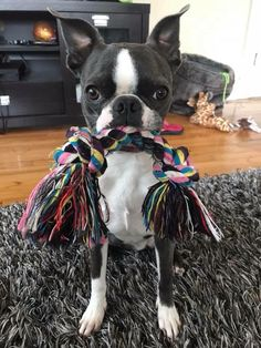 Find Out More On Playfull Boston Terrier Puppies Health Boston Terrior, Boston Terrier Love, Terrier Breeds, Terrier Puppies, Terriers, I Love Dogs, Cute Dogs, Boston Terrier Temperament, English Terrier