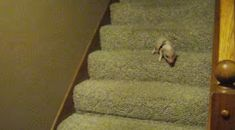 Hamlet The Piglet Finishes His First Walk Down The Stairs In The Cutest Way Possible.
