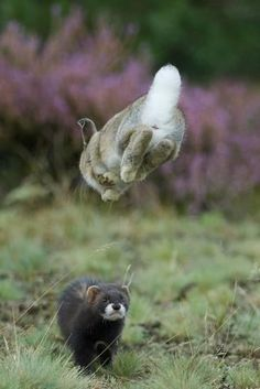 European Polecat (Mustela Putorius) Hunting Rabbit Which Is Jumping to Get Away Photographic Print by Edwin Giesbers at AllPosters.com