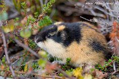 leming górski, leming właściwy (Lemmus lemmus) - zdjęcia leminga