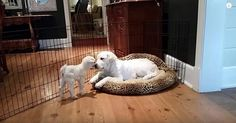 Puppy Completely Loses It When He Meets A Baby Goat For The First Time
