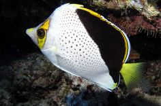 Hawaiian butterflyfish fish