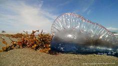 Joy's Jots, Shots & Whatnots: Wordless Wednesday #118 ~ Man-O-War Jelly Fish: Beautiful but Deadly