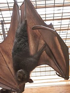 Large Flying Fox - Pteropus vampyrus Pteropus vampyrus (Chiroptera - Pteropodidae) is one of the largest bats in the world.