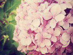 Pink Hydrangea, these were my wedding flowers :)