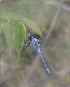 Blue Dasher Dragonfly by Tessa Fairey