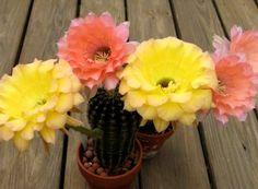 Cactus Echinopsis înflorit Cactus, Garden, Interiors, Agriculture, Plant, Garten, Cactus Plants, Gardens, Tuin