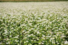 めずらしい蕎麦のお花畑。 滋賀県高島市内には、大規模な蕎麦畑が広がっています。 秋になると蕎麦畑は可憐な白い花をつけ、見る人の心を癒してくれます。 見頃は9月下旬から10月上旬。 華やかな春の花畑だけではなく、秋の花畑も素敵ですよ。