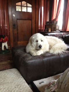 Great Pyrenees love!!