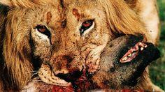 Leões vs Hienas | Eternos Inimigos Mortais - Planeta Selvagem