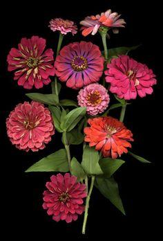 Zinnia Bouquet....My Very favourite colours