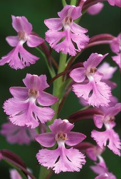 Lesser Purple Fringed-Orchid - Platanthera psycodes, by ER Post, via Flickr