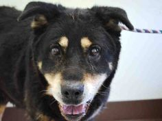 PULLED BY REEFUGE ANIMAL RESCUE - 04/04/15 - SUPER URGENT 3/25/15 Manhattan Center MINNIE - A1031280 FEMALE, BLACK / BROWN, ROTTWEILER / GERM SHEPHERD, 13 yrs STRAY - HOLD FOR OWNER DIED Reason OWNER DIED