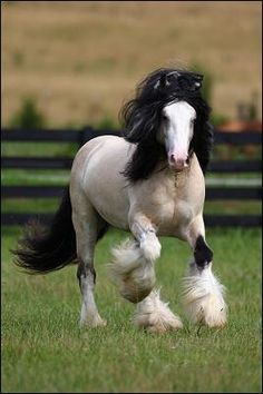 Beautiful Gypsy Vanner   FOFO