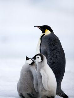 Emperor Penguin (Aptenodytes Forsteri) and Chicks, Snow Hill Island, Weddell Sea, Antarctica