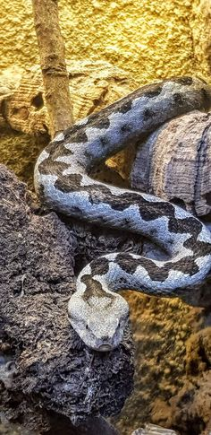 Schwarze Mamba, Königskobra, Grüne Mamba, Scheinkobra, Klapperschlange, Gabunviper uvm. gibt es im Reptilienzoo Happ zu sehen und zu bestaunen! Der Reptilienzoo Happ beherbergt ca. 60 verschiedene Schlangenarten. Gratis mit Kärnten Card. #austria #carinthia #carinzia #travelaustria #snakes #autriche #amazing Klagenfurt, Snake, Animals, Austria, Types Of Snake, Poisonous Snakes, Black Mamba, Rainy Weather, Tourism