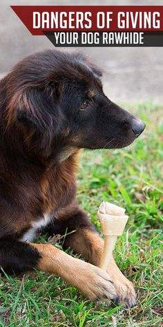 Rawhides seem like the perfect solution for tough chewers and puppies, but there are dangers you may not be aware of. https://www.sitstay.com/blogs/good-dog-blog/dangers-of-rawhide?utm_campaign=coschedule&utm_source=pinterest&utm_medium=SitStay%20Dogs