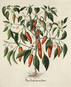 Antique Botanical Illustrations: 1640-1900