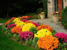 Beautiful mums for front yard landscaping by sidewalk. Just dig a hold and put the entire pot in it for quick work!