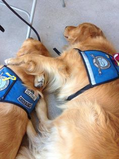 Ruthie Comfort Dog getting a little comfort of her own! #k9comfortdogs #dogs