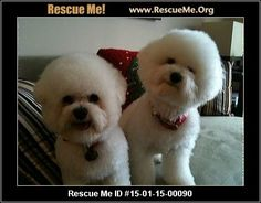 Rescue Me ID: 15-01-15-00090Mia (female)  Bichon Frise  Age: Young Adult  Compatibility:Good with Most Dogs, Good with Kids and Adults Personality:Low Energy, Very Submissive Health:Spayed, Vaccinations Current  Two little Bichon Frise lost their Mommy and now need to find a new place to live. Sweet Mia is 5 years old and her brother Rudy is 8 years old. They are spayed and neutered and up to date with all vaccines. You can see they have been very well taken care of. BUT now…