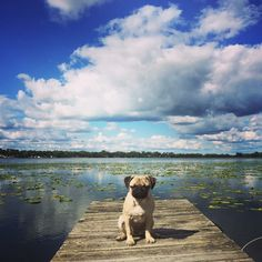 """How #cute is this photo of @kona.pug? TAG us to be featured ~ """"When u didn't catch any fish for dinner so you're stuck with kibble """" ~ #pug #pugpower #pugsnotdrugs #puglife #puglove #mops #cuteness #puglover #dogs #dogsofinstagram #pugstagram #dogsofinstaworld #instapug #pugoftheday #hermoso #carlino #pugsdaily #pugsforever #pugnation #pugworld #pugcarlino #pugs #instapug #pugsofig"""