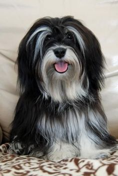 Dogs are said to be some of the best pets to keep. As a matter of fact, they are referred to as man's best friends. There are many breeds of dogs Havanese Grooming, Havanese Puppies, Cute Puppies, Cute Dogs, Dogs And Puppies, Havanese Haircuts, Doggies, Cockapoo, Small Dog Breeds