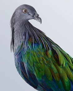 Australian photographer Leila Jeffreys focuses on diversity within bird species, and these wildly colourful portraits belie the lowly reputation of the pigeon Animal Photography, Fine Art Photography, Nature Photography, Crested Pigeon, Nicobar Pigeon, Bird People, Photo P, Portraits, Bird Illustration