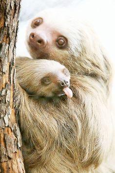 folivora  🐒  paresseux sloth/ les paresseux de la famille des Bradypodidae sont aussi appelés « aïs », chacun de leurs membres se terminant par 3 doigts griffus, ce qui les distingue des « unaus », de la famille des Megalonychidae, qui ne présentent que 2 griffes à chaque main.