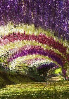 Wisteria Tunnel in Kawachi Fuji Garden. JAPAN.